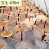 2017安徽大别山岳西椴木灵芝原料厂家无杂质基地灵芝孢子