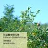 茶树精油 淡化痘印精油 单方精油原料批发 精油OEM