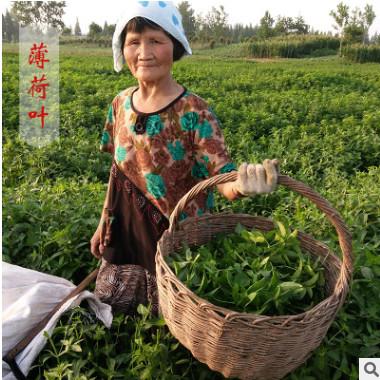 新鲜薄荷叶 产地直销18年新货 手工采摘制作食用花草茶厂家批发