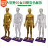 人体穴位模型针灸穴位模型中医教学模型男60厘米女58厘米 反射区