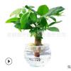 水培植物室内花卉盆栽植物 无土栽培发财树 招财植物 招加盟代理