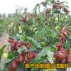 新疆特产五星和田大枣500g天然原味优质红枣骏枣厂家直销