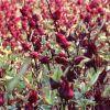 产地大货批发云南金边玫瑰花茶无硫散装2020年新花新货金边小玫瑰