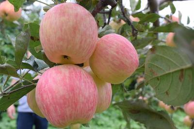 新鲜水果山西高原山区脆甜红富士纸加膜苹果产地10斤一件包邮代发