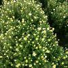 厂家直销 菊花种子 非洲菊花种子 欢迎咨询